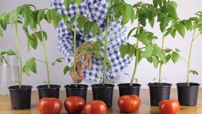 Kvinnan kontrollerar plantorna av grönsaker, innan han planterar stock video
