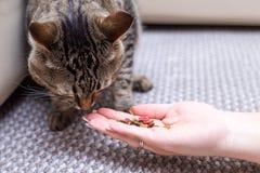 kvinnan matar katten, katt äter från händer av flickan arkivbild