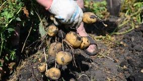 Kvinnan med en skyffel gräver upp potatisar arkivfilmer