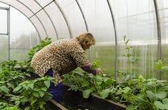 Kvinnan på en sommaruppehåll i växthusplantorna korrigerar melon Royaltyfria Foton