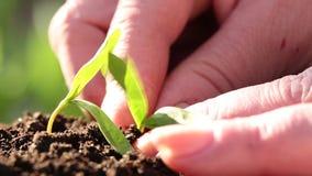 Kvinnan planterade en ung växt i jord stock video