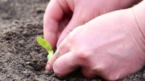 Kvinnan planterar lite den unga växten i jord stock video