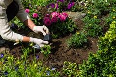 Kvinnan planterar ringblomman & x28; Tagetes& x29; plantor i blommaträdgården fotografering för bildbyråer