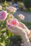 Kvinnan räcker att rymma en mjuk rosa färgros Royaltyfri Bild