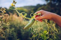 Kvinnan räcker att rymma en organisk gurka, slut räcker upp Rå Orga Royaltyfri Bild