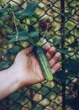 Kvinnan räcker att rymma en organisk gurka, slut räcker upp Rå Orga Royaltyfri Fotografi