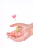 Kvinnan räcker att rymma en rosa färgros på vit Royaltyfri Fotografi