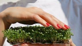 Kvinnan ?r att trycka p? nya groddar av arugula vid fingret med r?d manikyr Sund mat, bruka som ?r hemmastatt som bantar, kropp stock video