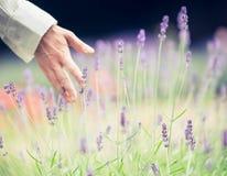 Kvinnan river sönder lavendelblommor på en naturlig bakgrund, suddig bakgrund, utrymmetext Royaltyfria Foton
