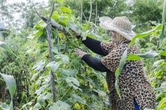 Kvinnan samlar gurkaskörden Arkivbild