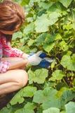 Kvinnan samlar gurkor i ett växthus Royaltyfri Foto