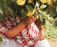 Kvinnan samlar mogna stora äpplen royaltyfria bilder