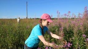 Kvinnan samlar växt- Koporye te eller blommaSally Arkivfoto