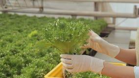 Kvinnan satte behållaren med grönsallatsallad som växer i jordning, överföringar till gula askar, tänder arkivfilmer