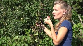 Kvinnan skördar björnbär från filialer och äter i trädgård 4K stock video
