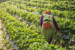 Kvinnan skördar jordgubben i jordgubbekolonifält Arkivbilder