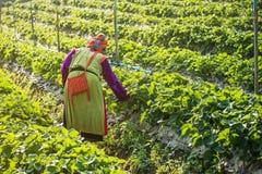 Kvinnan skördar jordgubben i jordgubbekolonifält Arkivfoto