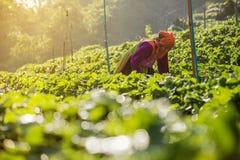 Kvinnan skördar jordgubben i jordgubbekolonifält Fotografering för Bildbyråer