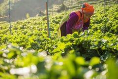 Kvinnan skördar jordgubben i jordgubbekolonifält Royaltyfri Bild