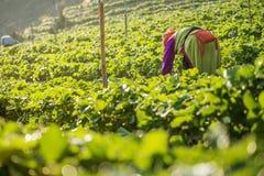 Kvinnan skördar jordgubben i jordgubbekolonifält Royaltyfri Fotografi