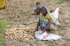 Kvinnan skördar potatisar med kala händer Arkivbild