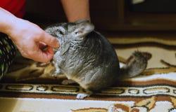 Kvinnan skrapar den gråa fluffiga chinchillan Förtjusande husdjur med så royaltyfri foto