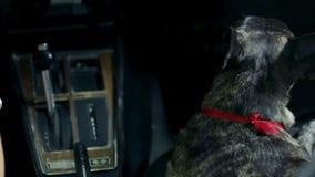 Kvinnan smeker den franska bulldoggen under nattdrevet stock video