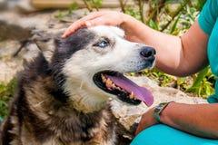 Kvinnan smeker hennes trogna skrovliga avelhund Trogen skrovlig bree royaltyfria foton