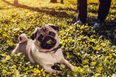 Kvinnan som går mopshunden i den lyckliga valpen för vårskogen som ligger bland guling, blommar i morgon- och tuggninggräset royaltyfria foton