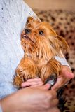 Kvinnan som lite kammar hunden av aveln Yorkshire Terrier_ royaltyfria bilder