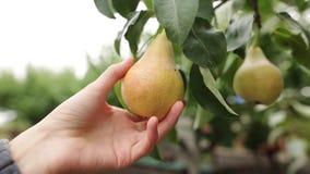 Kvinnan tar ett moget saftigt päron i hennes hand Den kvinnliga handen trycker på frukten på trädet under skörd på