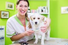 Kvinnan undersöker hunden för loppa på den älsklings- groomeren arkivbild