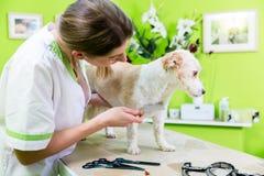 Kvinnan undersöker hunden för loppa på den älsklings- groomeren royaltyfria bilder