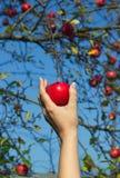 Kvinnans hand tar ner det röda äpplet från träd royaltyfri bild