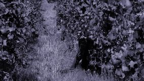 Kvinnaplockningdruvor i hösten arkivfilmer