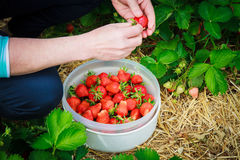 Kvinnaplockningjordgubbar i fältet Royaltyfria Foton