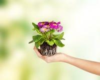 Kvinnas händer som rymmer blomman i jord Royaltyfri Foto