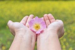 Kvinnas händer som rymmer den rosa försiktiga blomman i natur royaltyfri foto