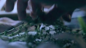 Kvinnas händer som väljer ny timjan för att laga mat stock video