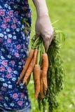 Kvinnas hand med skördade morötter Fotografering för Bildbyråer