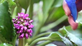Kvinnasprejvatten på de härliga lilorna blommar stock video