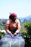 kvinnatearbetare säkrar fördelar på Munnar, Kerala, Indien Royaltyfri Foto