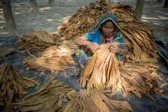 Kvinnatobakbonde som ut arbetar i plats för manikganj av Dhaka Arkivfoton