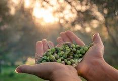 Kvinnauppehällen i hennes händer några av skördade nya oliv Arkivfoto