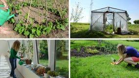 Kvinnavattenkaktuns blommar bönor och tomatväxten Fäster ihop collage lager videofilmer