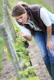 Kvinnawinegrower i vingårdar arkivfoto