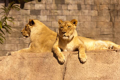 Kvinnlig afrikan Lions-1 Fotografering för Bildbyråer