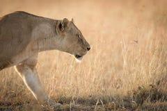 Kvinnlig afrikansk lejoninna som förföljer i gräset i Serengeti, Tanzania Arkivfoton