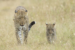 Kvinnlig afrikansk Leopard som går med henne den små gröngölingen, Tanzania Royaltyfri Bild