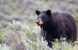 Kvinnlig amerikansk Ursus för svart björn som är americanus i den Yellowstone nationalparken i Wyoming royaltyfri foto